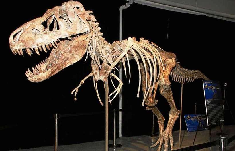 Esqueleto de um tiranossauro: os animais gigantes viveram durante 160 milhões de anos e desapareceram da Terra há cerca de 66 milhões: extinção intriga leigos e cientistas até hoje. Foto: AFP