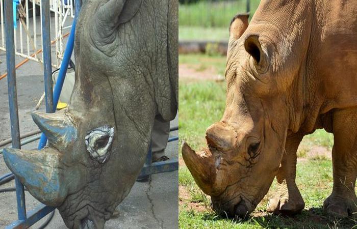 (foto: Rinoceronte Thor em 2008 e depois, em 2019)