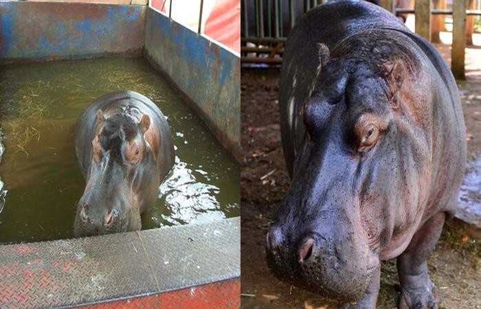 (foto: Hipopótamo fêmea Iully em 2008 à direita, desnutrida e arredia. À esquerda, o animal em 2019)