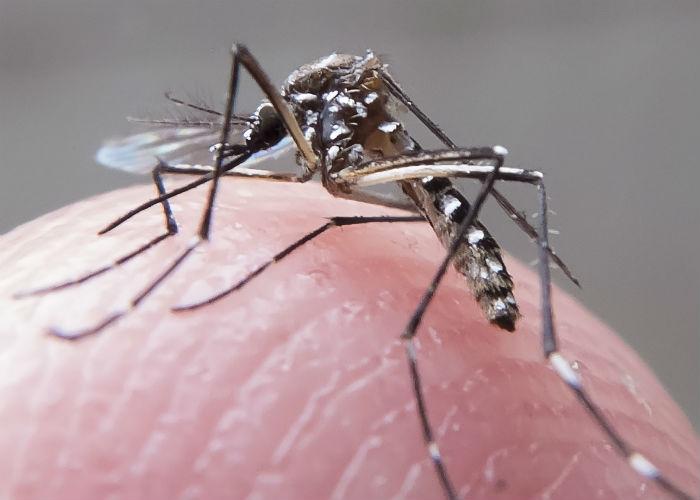 Na pesquisa, foram utilizadas 60 amostras de mosquitos Aedes aegypti e Culex quinquefasciatus. Foto: Rafael Neddermeyer/Fotos Públicas.