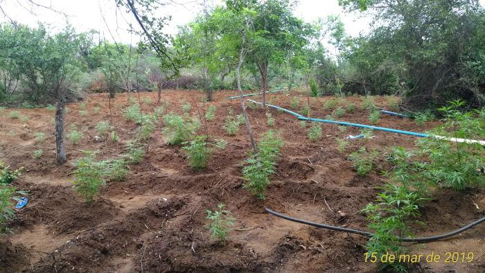 Foram incinerados oito mil pés de maconha além de 7,6kg da erva pronta para consumo. Foto: Polícia Militar / Divulgação