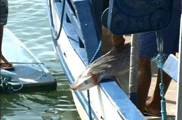 Após cinco dias de expedição, sete tubarões foram capturados. Em oito dias, foram dez no total (TV Clube/Reprodução)